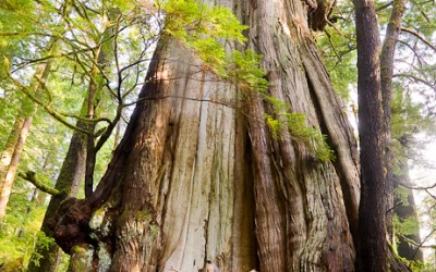 There are Giants among us – Avatar Grove in Port Renfrew BC